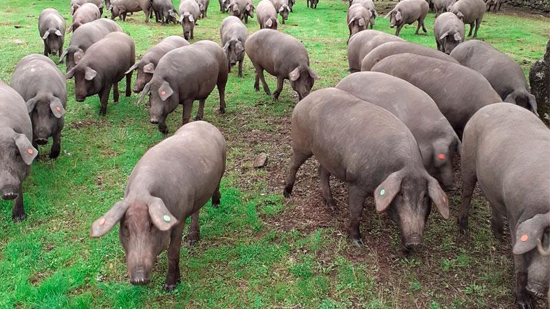carrusel-cerdo-iberico-1