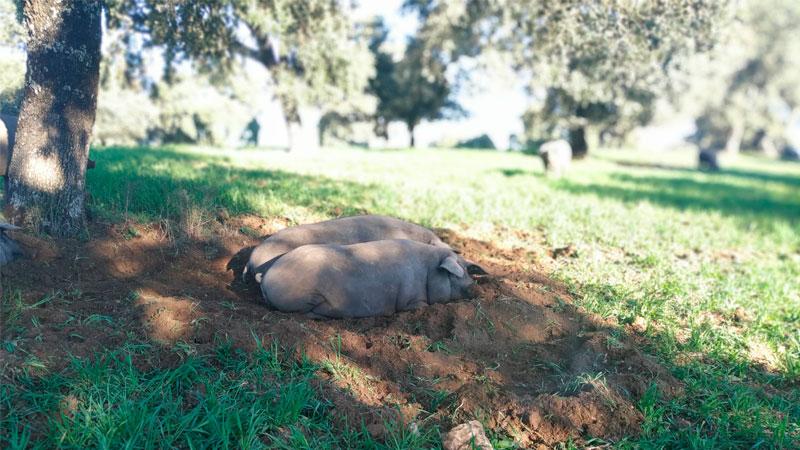 carrusel-cerdo-iberico-2