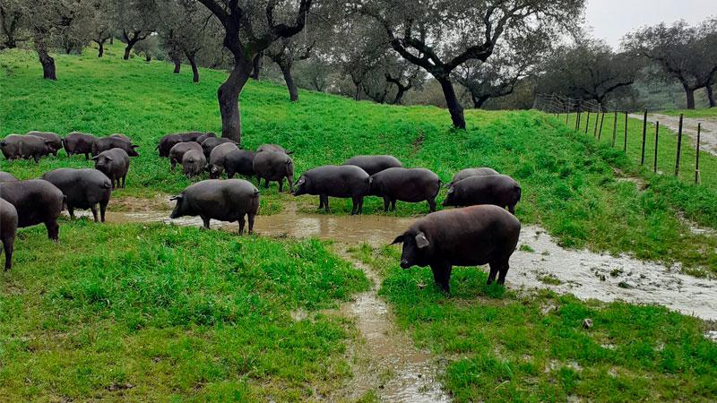 carrusel-cerdo-iberico-5