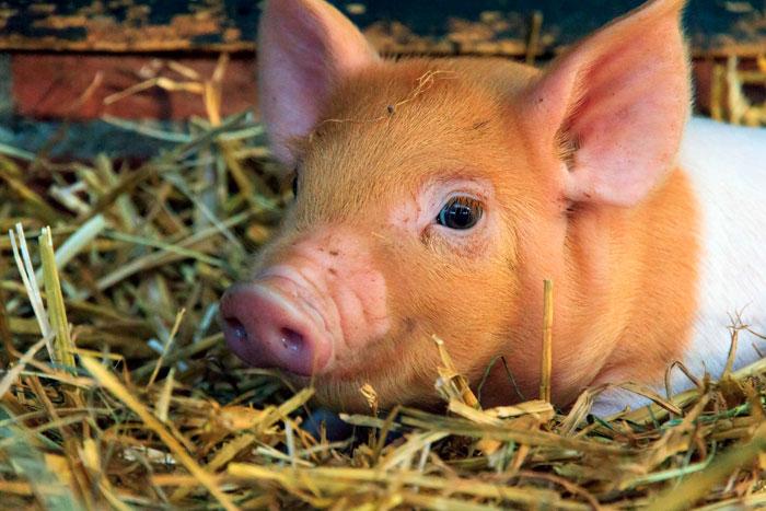 certificaciones-cerdo